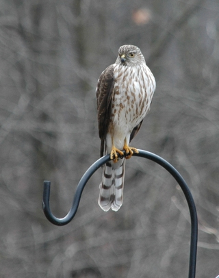Copy_of_sharpshinned_hawk